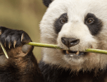 Disneynature's Born In China + Printables
