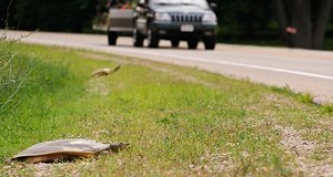 turtles trying to cross road with traffic