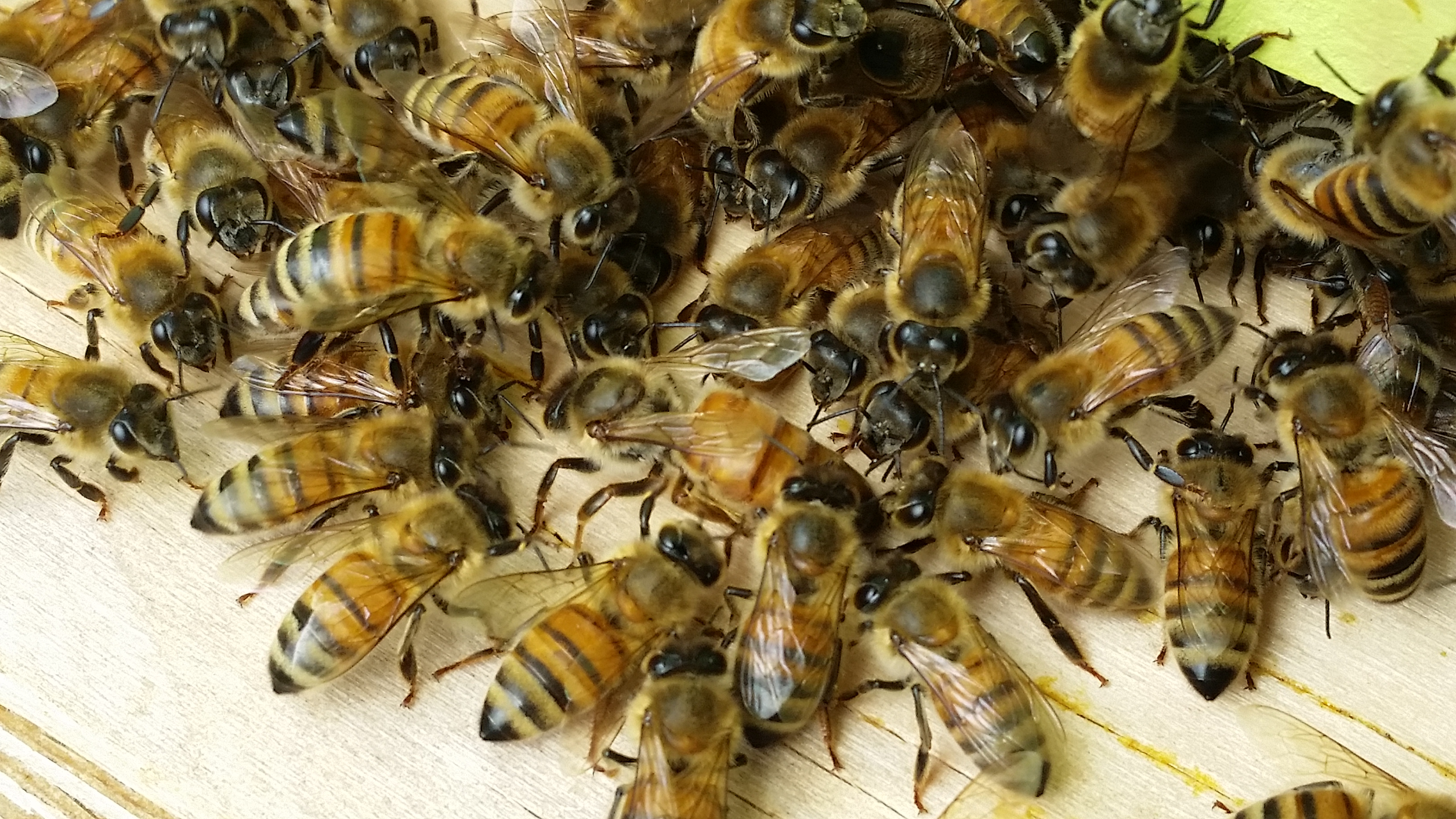 One of our Queen Bees