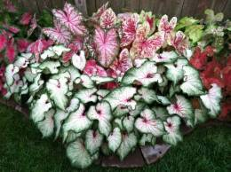Caladium - Requires shade - but new varieties will take the sun - check the tag.