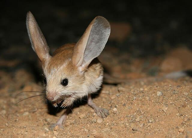 Resultado de imagem para parece rato e tem orelhas grandes