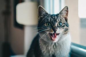 zodiac pisici gemeni