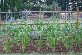 The corn was a little spindly but produced a good crop