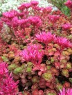 The Dragon's Blood sedum bloomed for the first time with a surprising hot pink blossom.