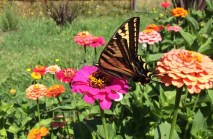A happy butterfly among the zinnias.