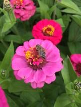 Honeybee and zinnia.