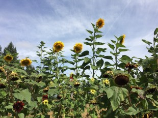 The tallest sunflowers.