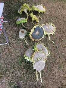 First sunflower harvest