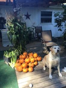 Henry awaiting The Great Pumpkin