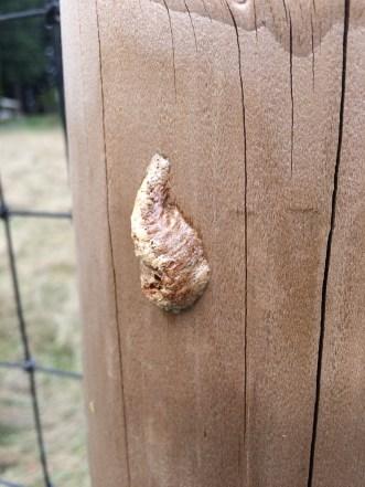 Praying mantis eggs.
