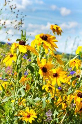Kissel Hill daisies