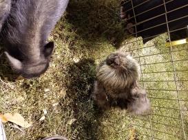 Very fluffy chickens!