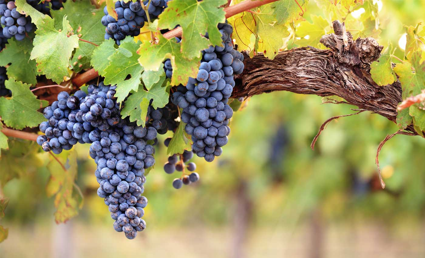 Image result for vineyards pictures