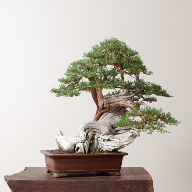 Junipers Bonsai Colorado Rocky Mountain Bonsai Suiseki