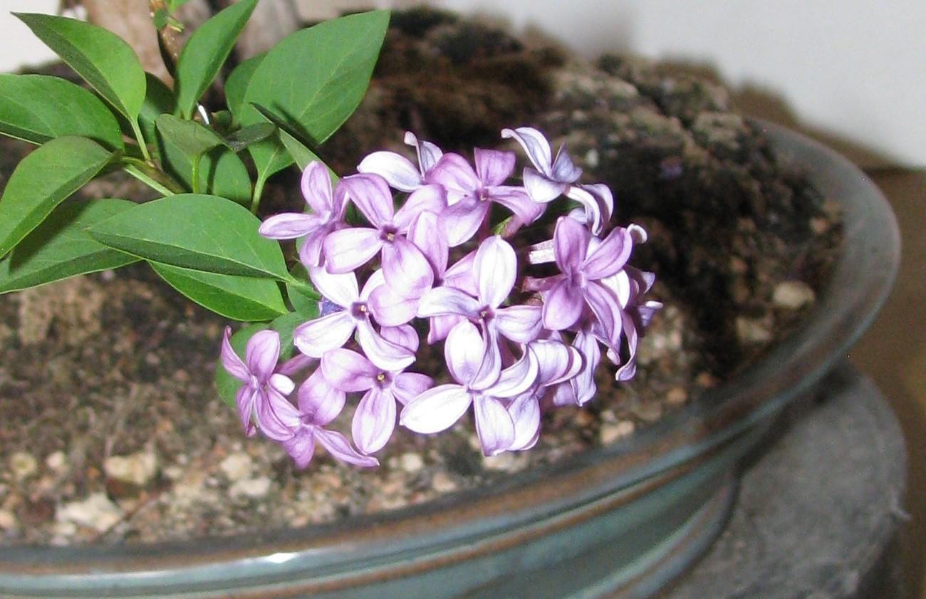 Syringa Pubescens Subsp Patula Miss Kim Lilac Bonsai Colorado Rocky Mountain Bonsai Suiseki