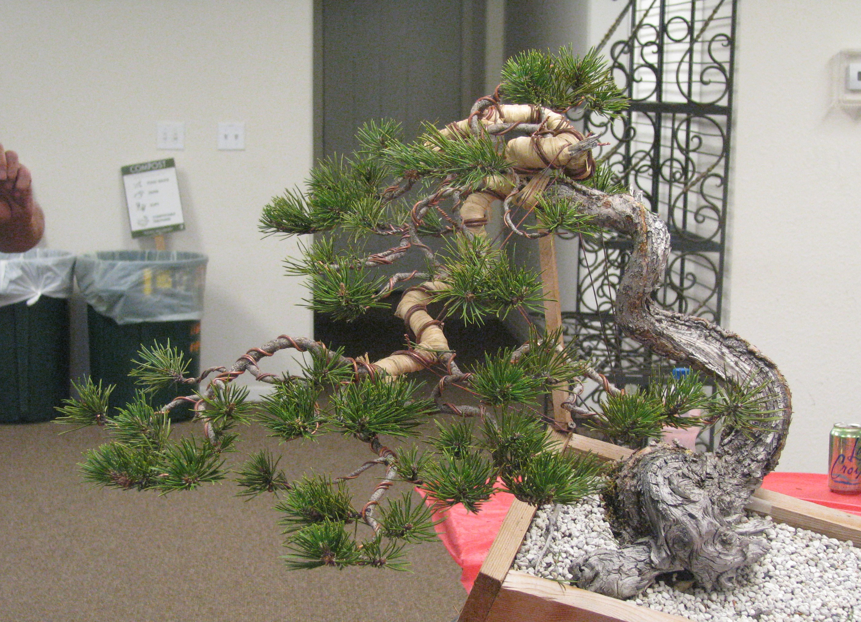 Bonsai Pine Management Theory Colorado Rocky Mountain Wiring Yew