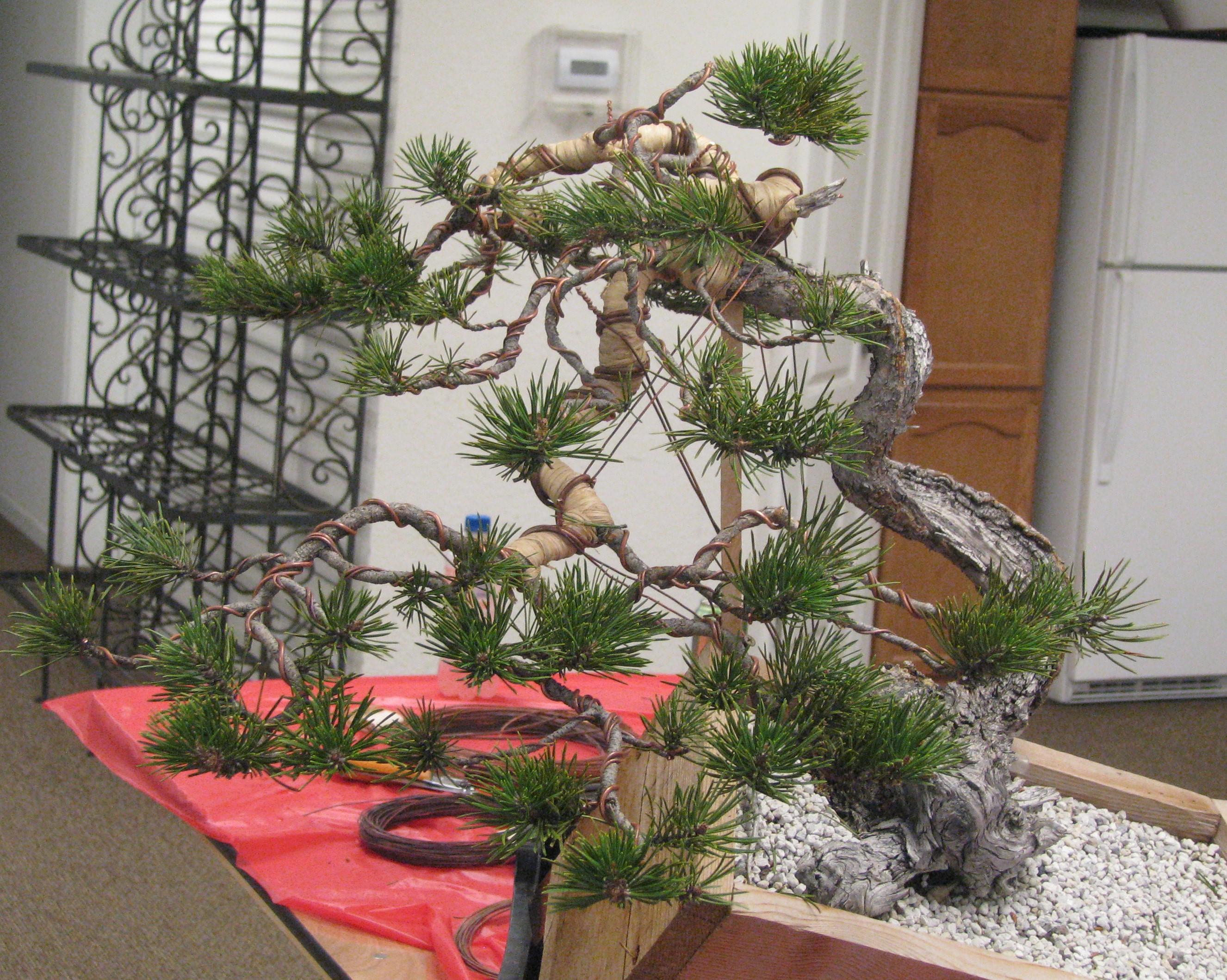 Pines Bonsai Colorado Rocky Mountain Bonsai Suiseki