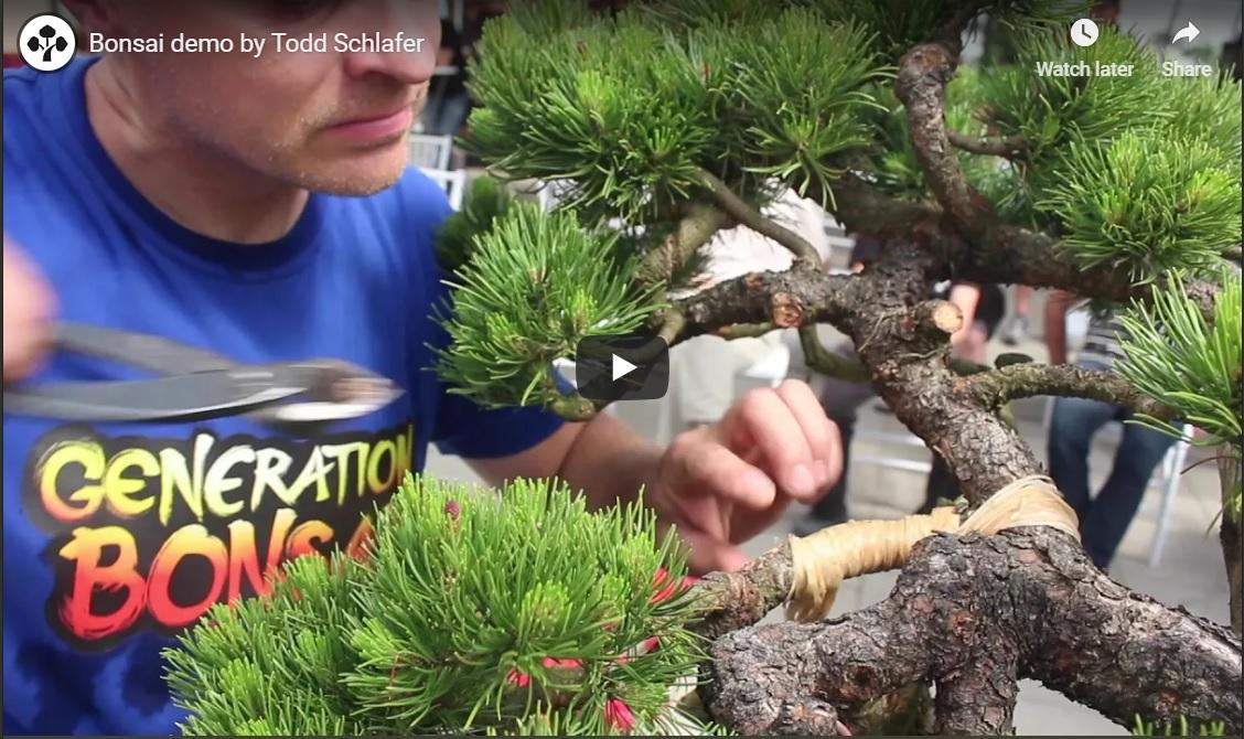 Excellent Colorado Bonsai Bonsai Demo By Todd Schlafer Colorado Rocky Wiring Cloud Oideiuggs Outletorg