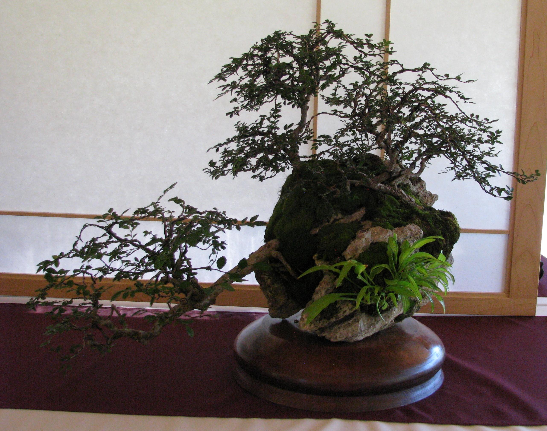 Colorado Bonsai Chinese Elm Ulmus Parvifolia Catlin 3 Tree Rock Wiring 2018 Elms Planting