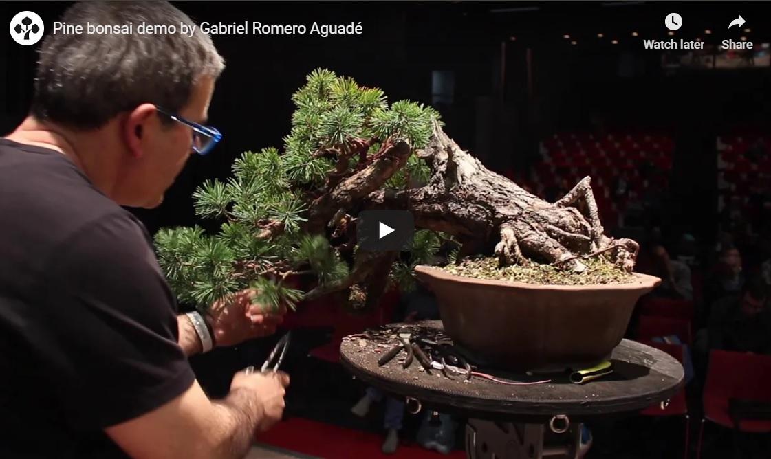 Wondrous Colorado Bonsai Pine Bonsai Demo By Gabriel Romero Aguade Wiring Cloud Oideiuggs Outletorg