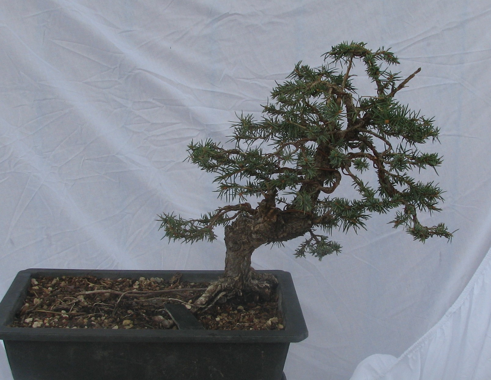 Colorado Bonsai Picea Pungens Colorado Blue Spruce Bonsai Colorado Rocky Mountain Bonsai Suiseki
