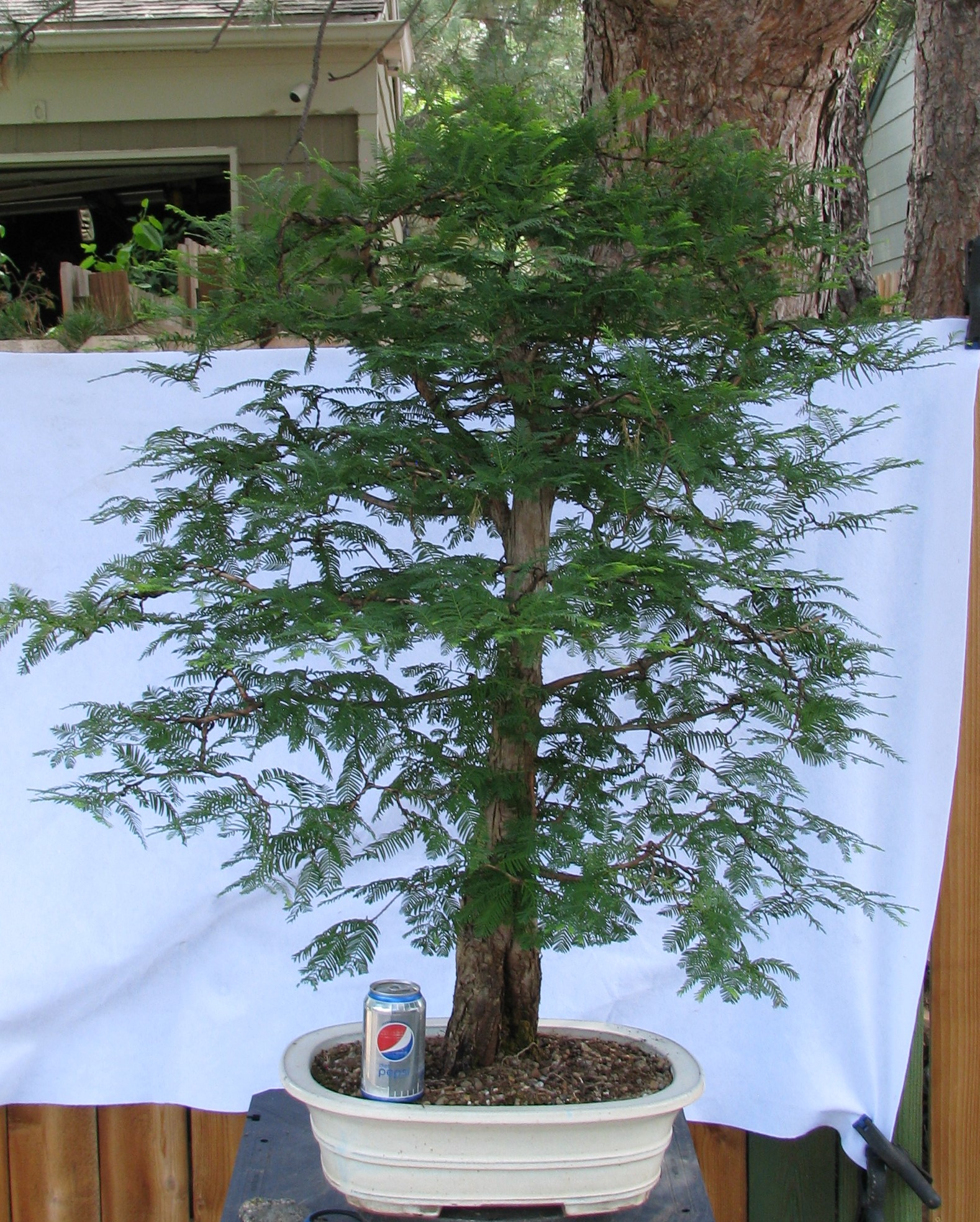 Metasequoia Glyptostroboides Dawn Redwood Bonsai Colorado Rocky Mountain Bonsai Suiseki