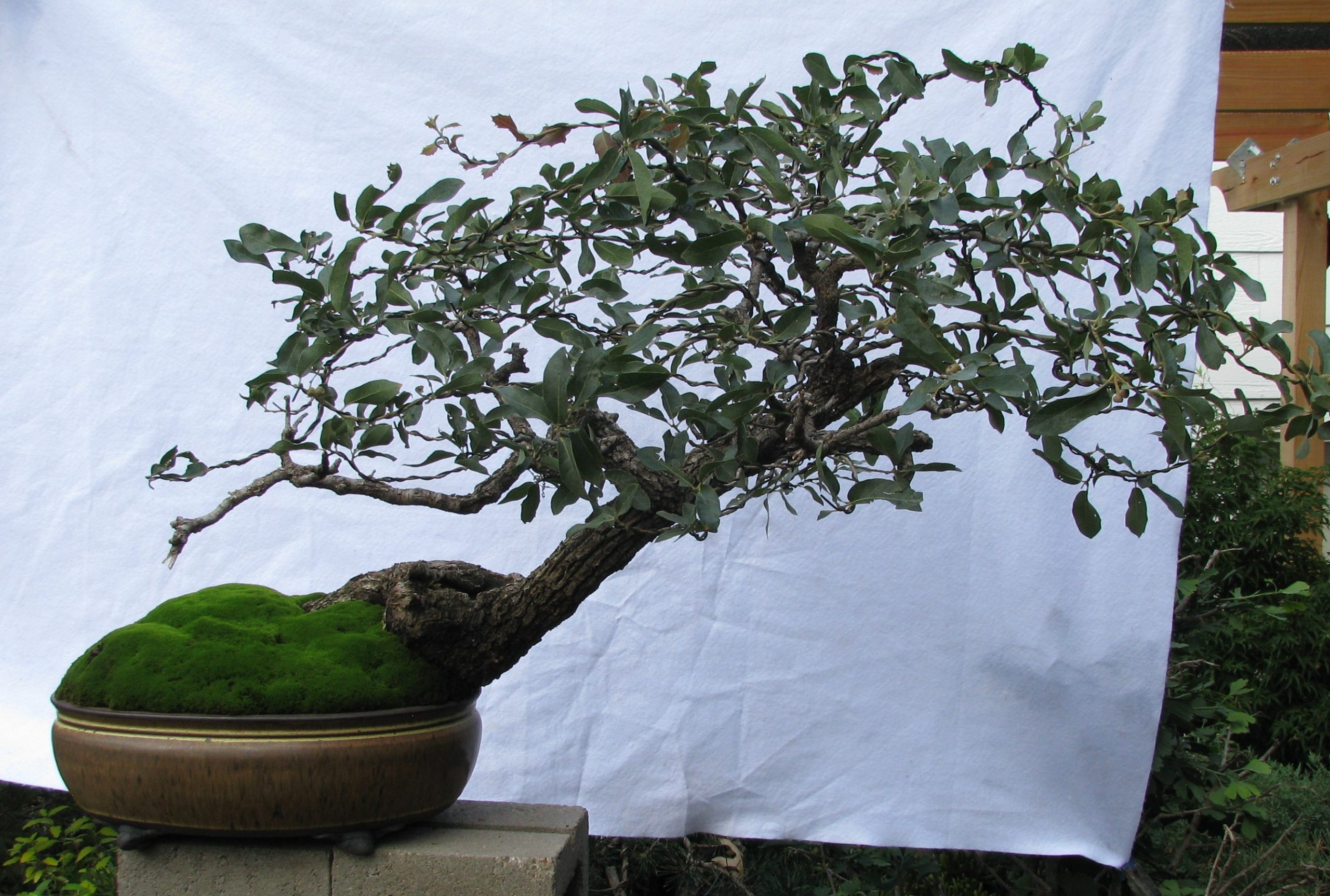 Quercus Grisea Gray Oak Bonsai Colorado Rocky Mountain Bonsai Suiseki