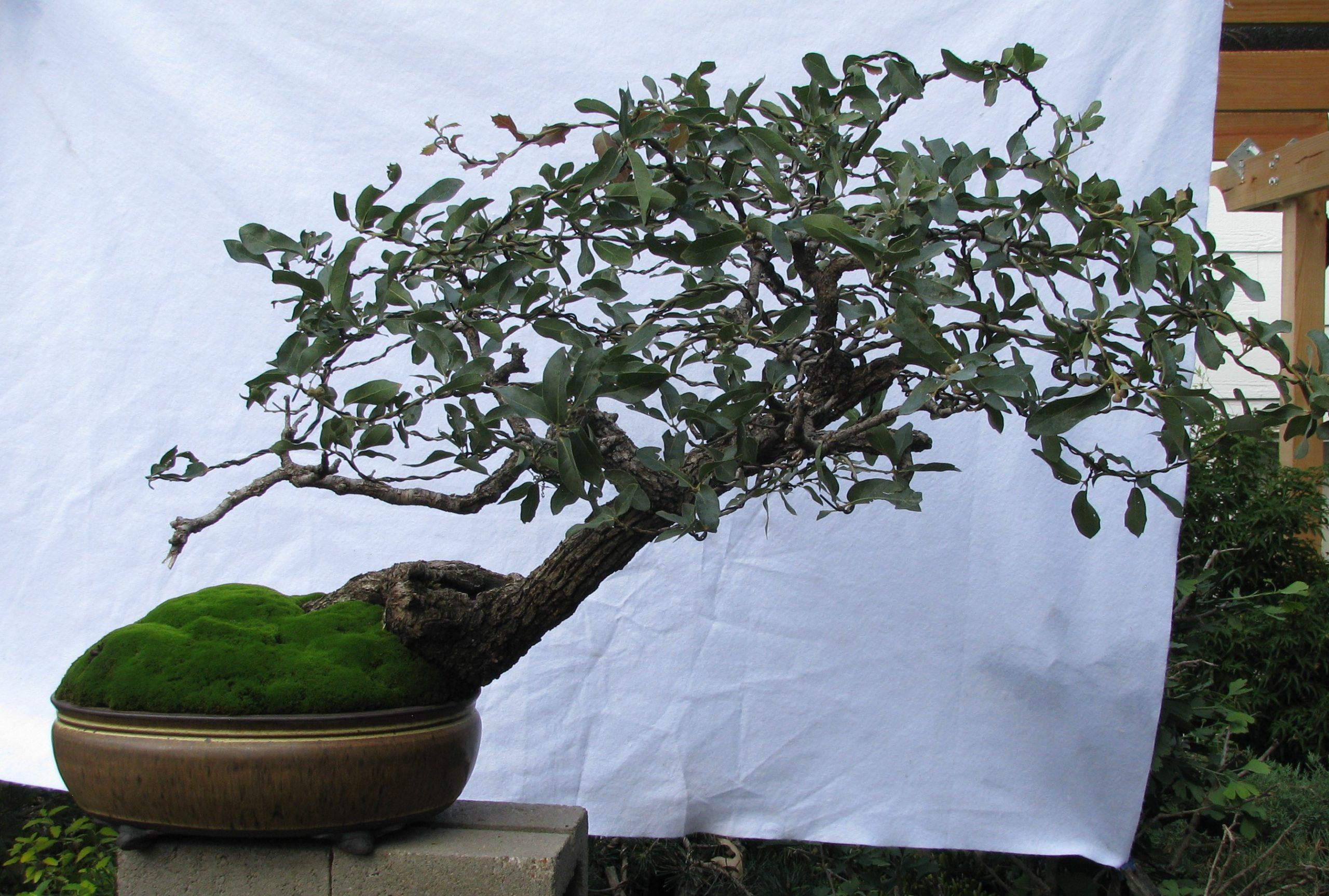 Quercus Grisea Gray Oak Bonsai Colorado Rocky Mountain Bonsai Suiseki