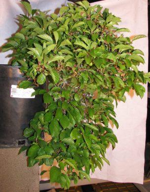 Viburnum farreri 'Nanum' Bonsai