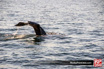 Cola de ballena jorobada en Puerto Peñasco Sonora