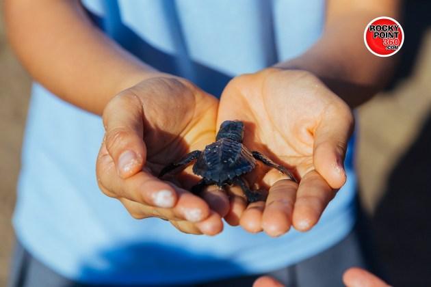 puerto-penasco-turtle-release-2015-015-630x420 Long awaited turtle return to Puerto Peñasco