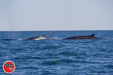 whales-feb21-2017-delmar (11)