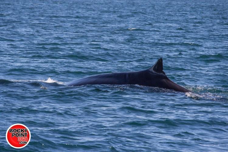 whales-feb21-2017-delmar-16-1200x800 What's not to love?  Rocky Point Weekend Rundown!