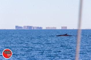 whales-feb21-2017-delmar (3)