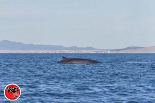 whales-feb21-2017-delmar (4)