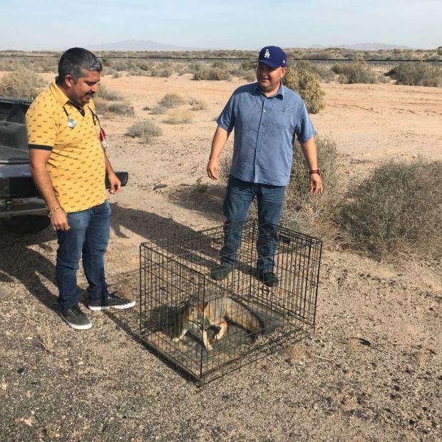 fox-december Zorro retirado de zona turística liberado en el desierto