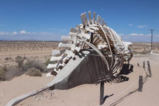 CEDO-whale-tail CEDO: Call to help restore whale skeleton