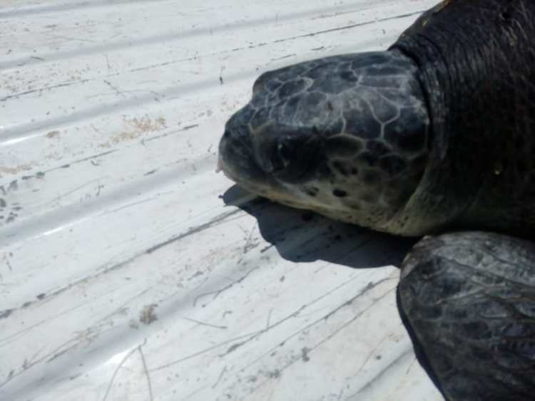 aug-2019-rescate-tortuga-2 Injured turtle rescued near Malecón