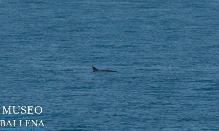 museo-de-la-ballena Summer sighting of 6 Vaquitas reported in Upper Gulf of California