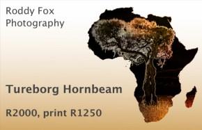 Tureborg Hornbeam Price