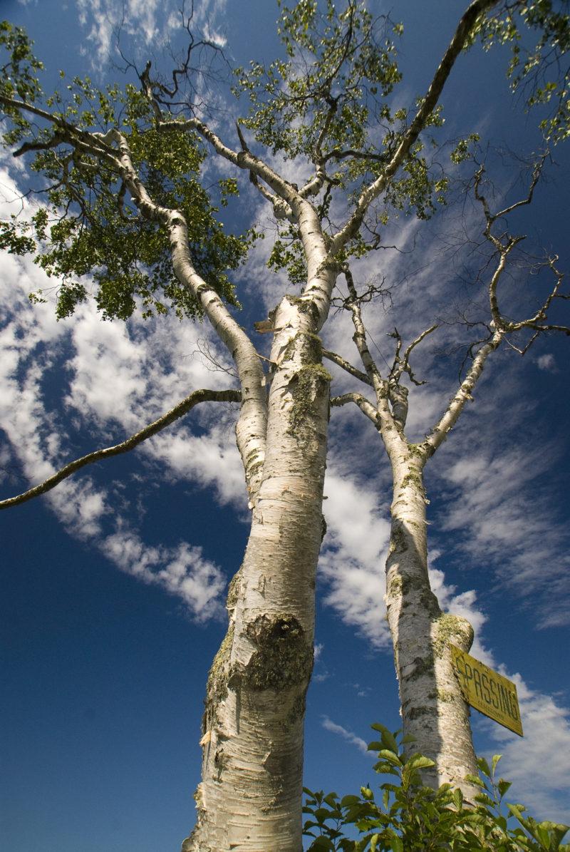 """No Trespassing"" Paper Birch (Betula papyrifera) at Hatch Cove Preserve, Castine, Maine"