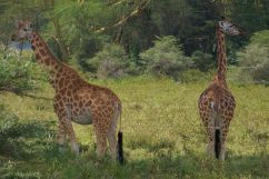 Lake Nakuru National Park (137)