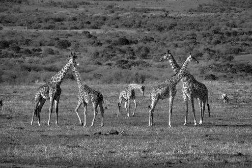 Masai Mara National Reserve (203)