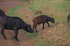 Masai Mara National Reserve (28)