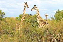 Masai Mara National Reserve (32)