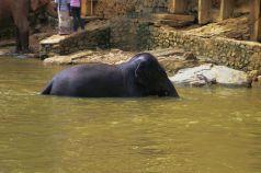 Pinnawala Elephant orphanage (14)