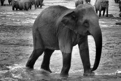 Pinnawala Elephant orphanage (16)