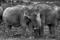 Pinnawala Elephant orphanage (4)