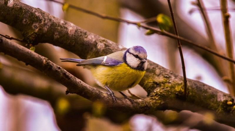 Bird Nature Tit Blue Tit Wild  - fleglsebastian7 / Pixabay