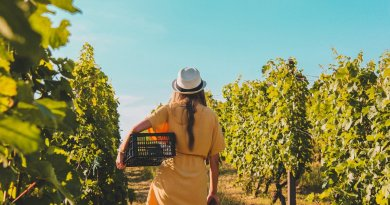 Vineyard Girl Harvesting Back  - ArpadCzapp / Pixabay